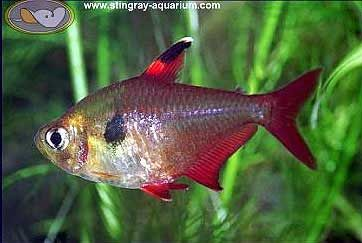 Red Phantom Tetra Hyphessobrycon Sweglesi Beautiful Tropical Fish Tetra Fish Betta Aquarium