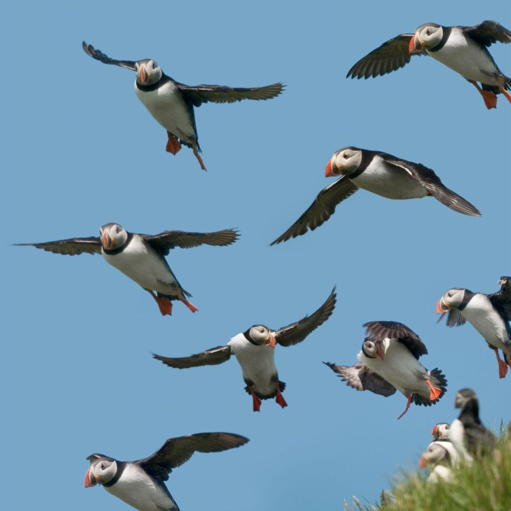 Lunnefåglar på Färöarna