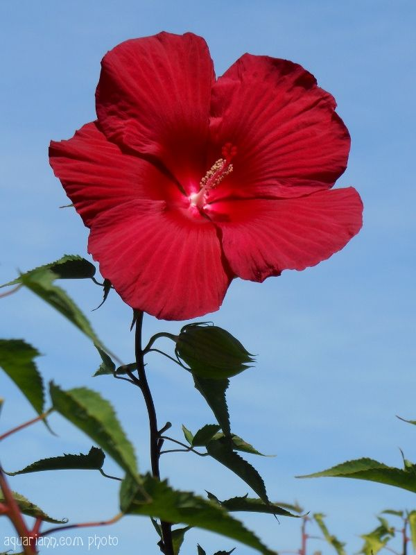 Red Hibiscus Flower Photo Trees To Plant Flowers Hibiscus Flowers