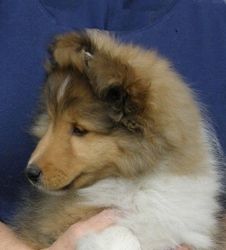 All The Things We Like About The Cute Shetland Sheepdog Puppies