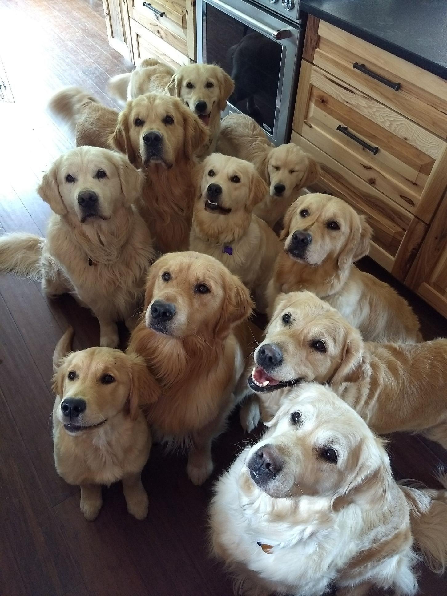 So Many Goldens Goldenretriever Dogs Golden Retriever Golden