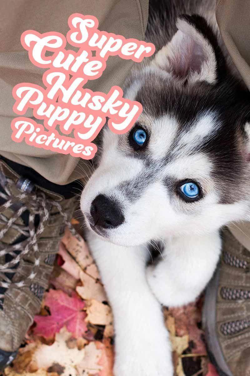 Super Cute Husky Puppy Pictures A Gallery Of Amazing Husky Photos