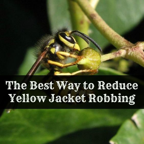 If You Are A Beekeeper Yellow Jackets Are A Perennial Pest Learn The Best Way To Reduce Yellow Jacket Robbing Bee Keeping Yellow Jacket Bee