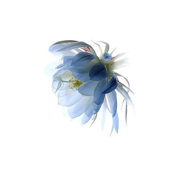 n a v y ❤ liked on Polyvore featuring flowers, blue, backgrounds and filler