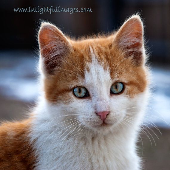 Orange And White Tabby Kitten With Blue Eyes 6 By Inlightfulimages