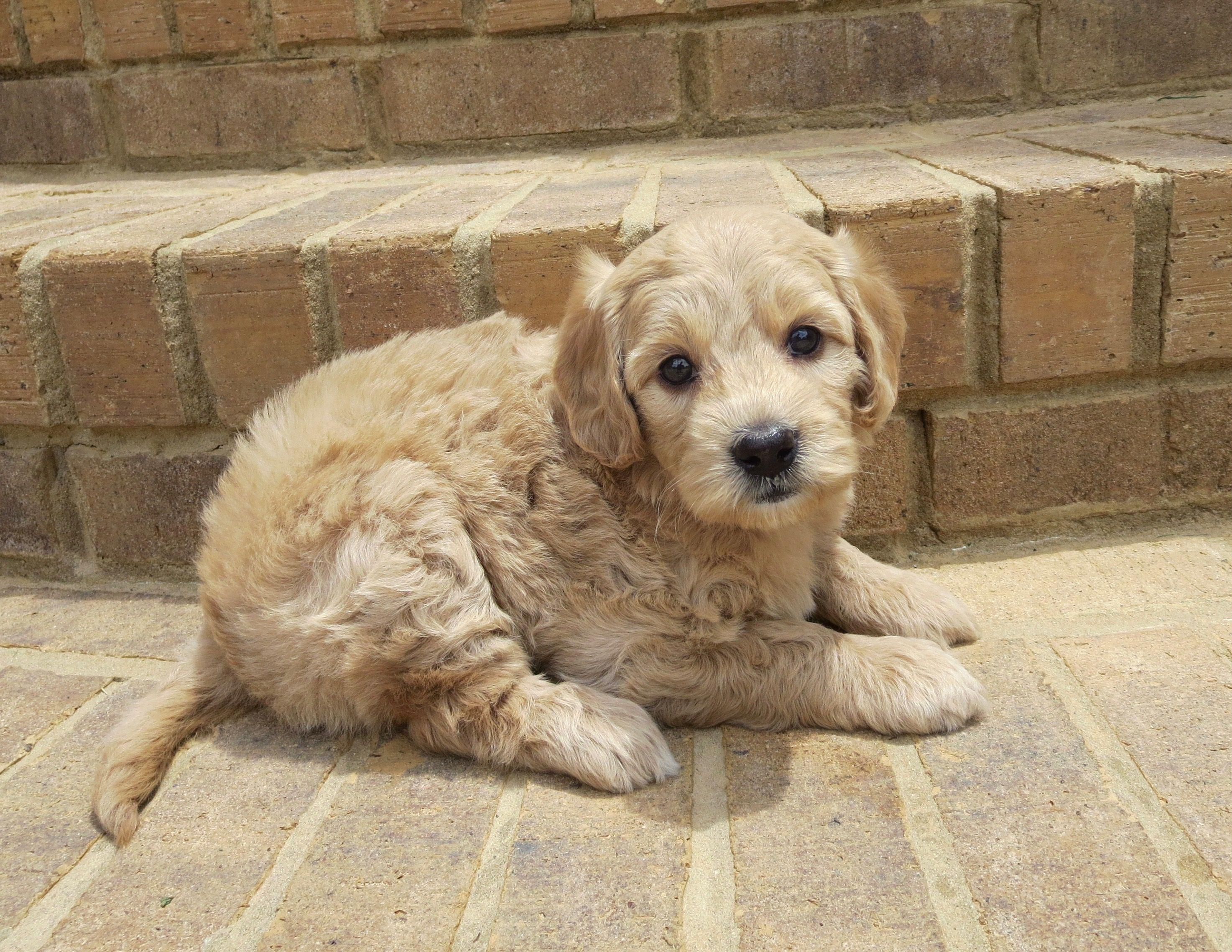 Mini English Teddy Bear Goldendoodle Cute Little Animals Animals Beautiful Cute Dogs