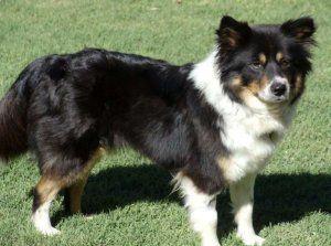 Adopt Kimmie On Australian Shepherd Dogs Australian Shepherd Dogs