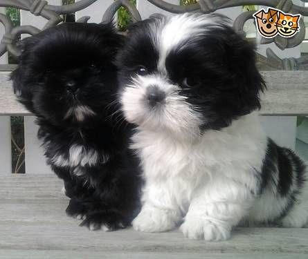 Amazing Shih Tzu Puppies Salford Greater Manchester