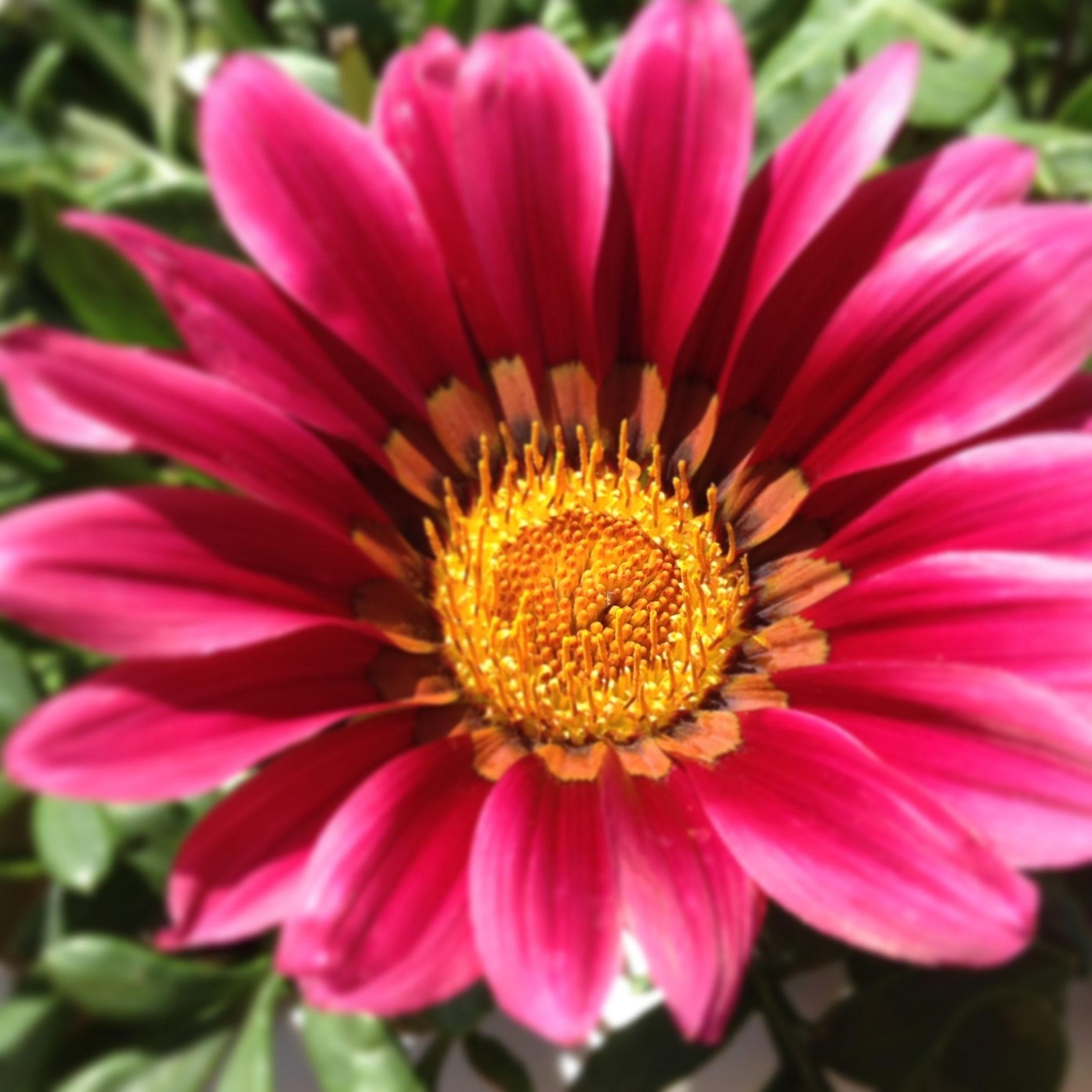 Gazania bloom in my garden pink pinterest gardens plants and pink kiss produces large two toned pink daisy like flowers on dense low growing foliage this perennial hybrid is a hardy free flowering variety izmirmasajfo