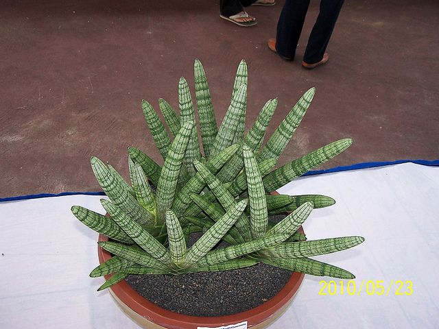 sansevieria cylindrica var patula 39 boncel 39 plantes cactus et vegetal. Black Bedroom Furniture Sets. Home Design Ideas