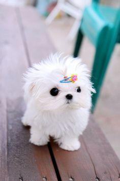 Tiny Teacup Cute Teacup Puppies