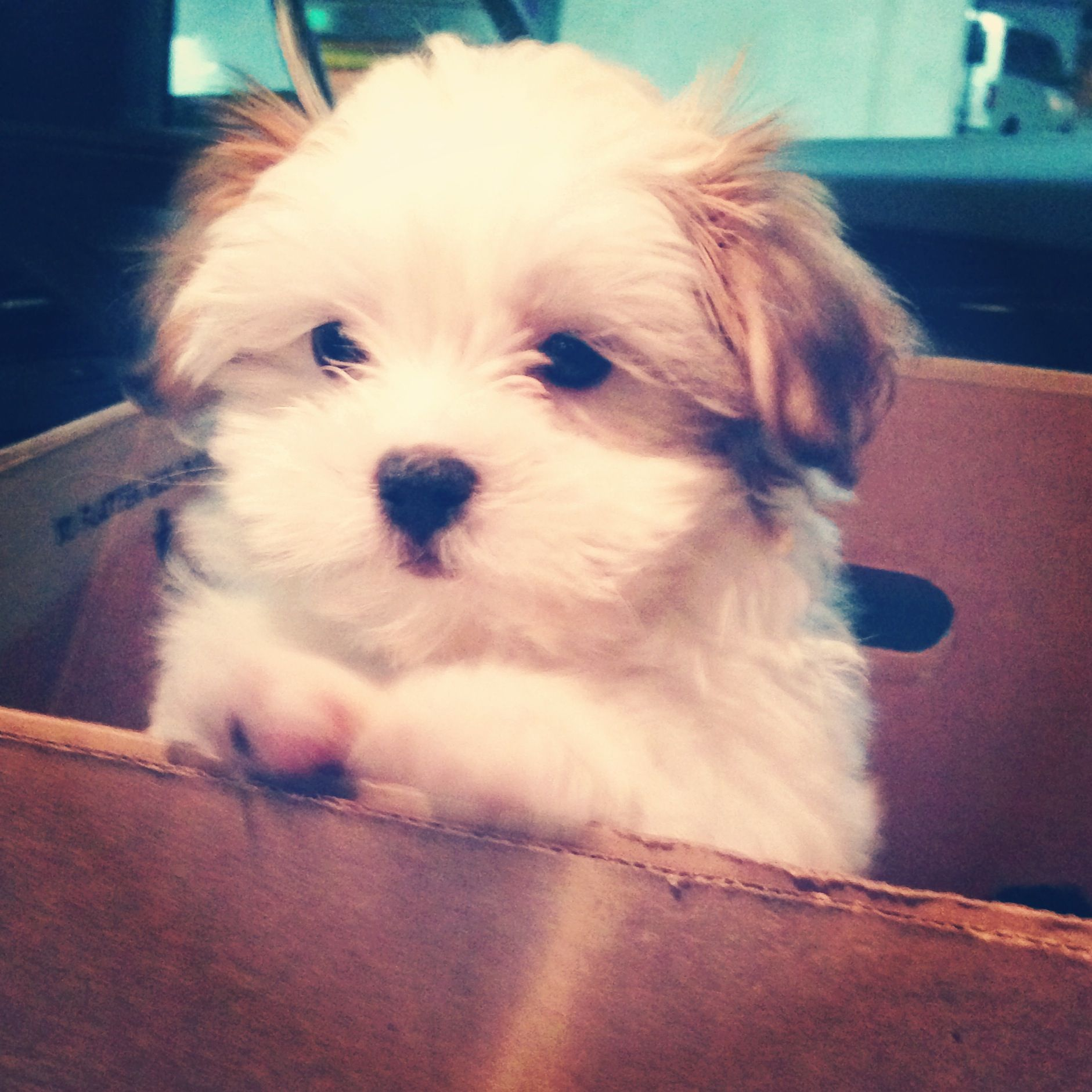 Walter Sterling The Greatest Malshi Puppy Cute Puppies
