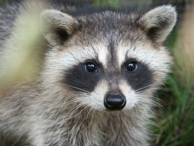 I kind of love raccoons. I think they're misunderstood little animals. They are kind of spooky and potentially dangerous sometimes, but extremely intelligent and really interesting. And honestly, are you going to seriously tell me that is not a cute face?