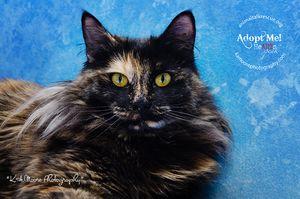 Adopt C2251 Aurora On Cat Love Rex Cat Kitty