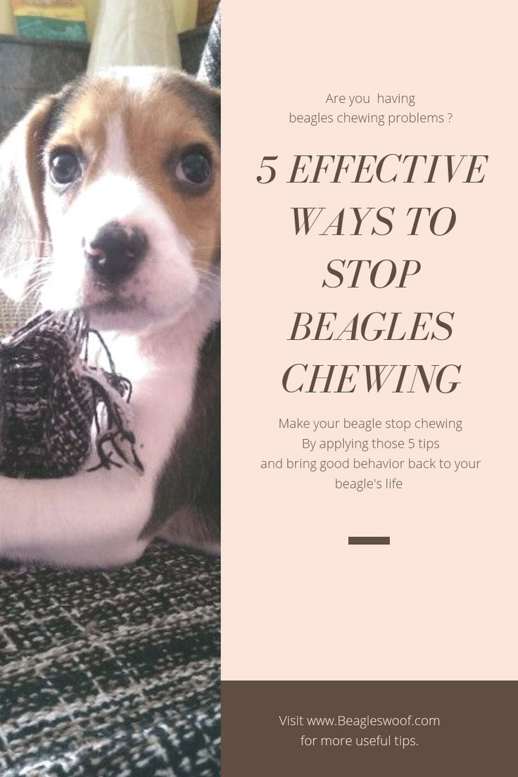 5 Effective Ways To Stop Your Beagle S Destructive Chewing Beagle Dog Tricks Easy Tough Dog Toys