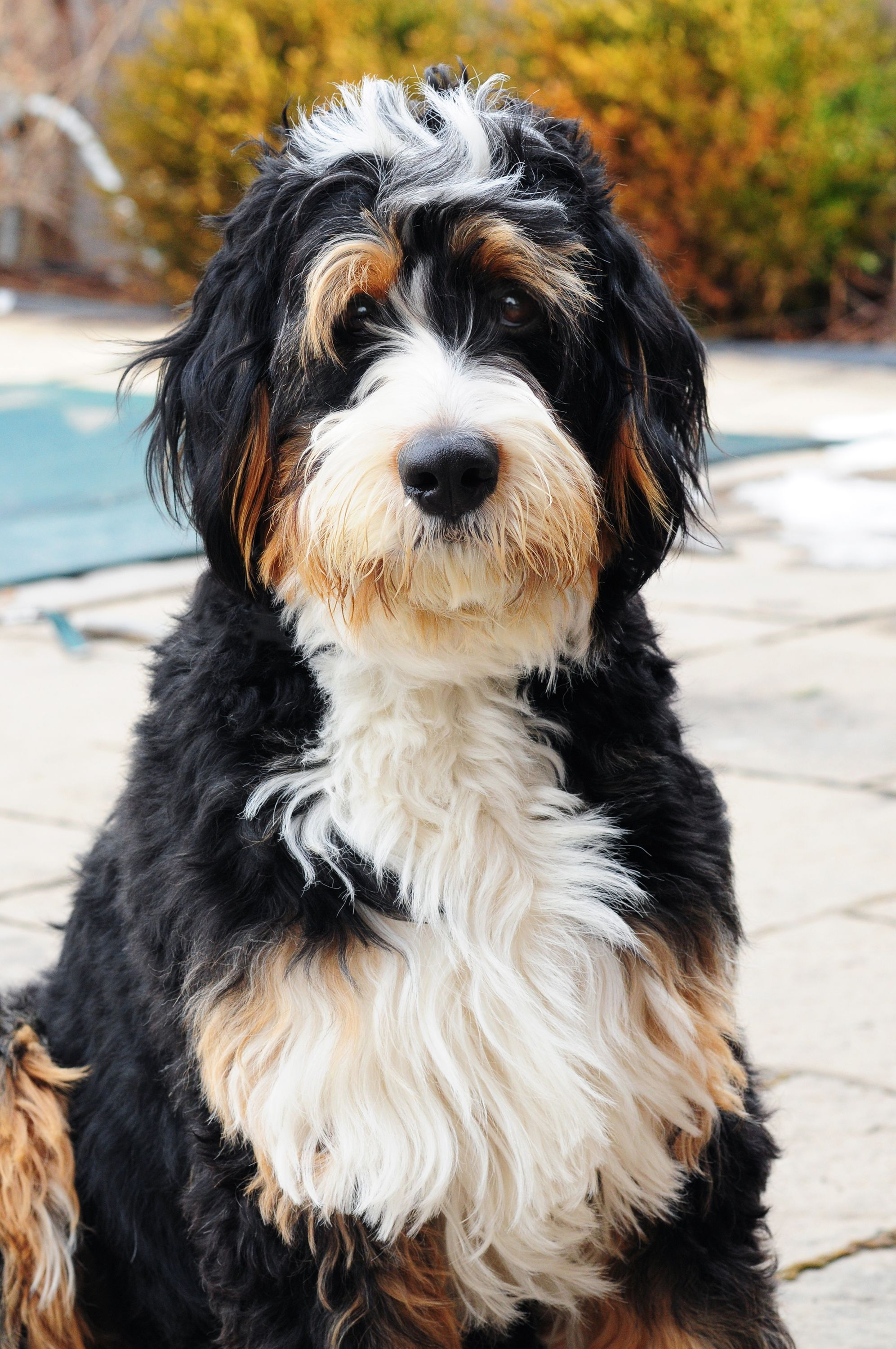 Bernedoodle from Swissridge Kennels | Zolo & Blizzard ...