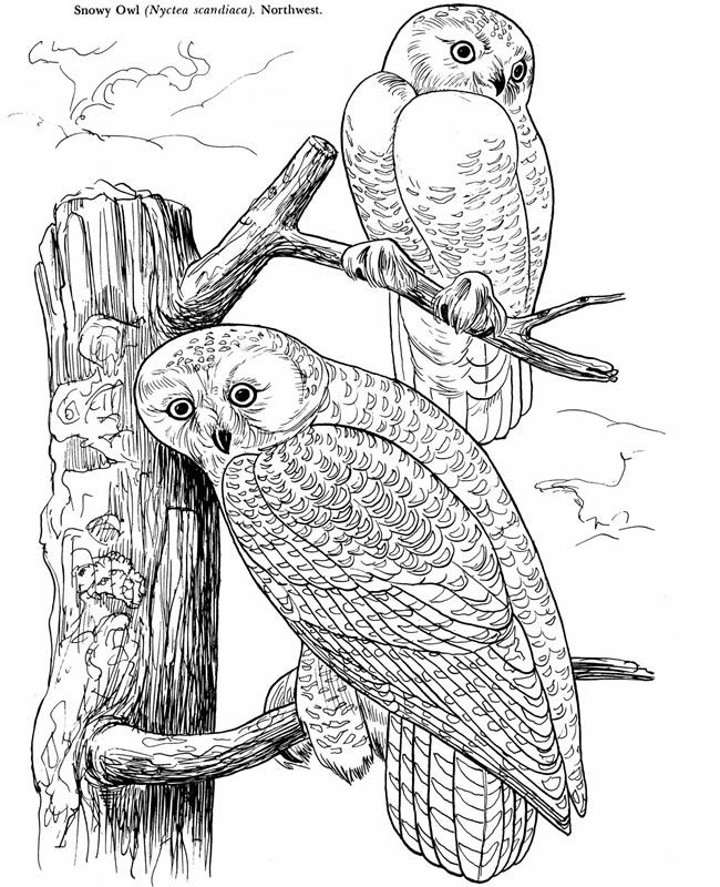 Audubon S Birds Of America Coloring Book For Our Bird Unit Study Owl Coloring Pages Coloring Book Art Owls Drawing