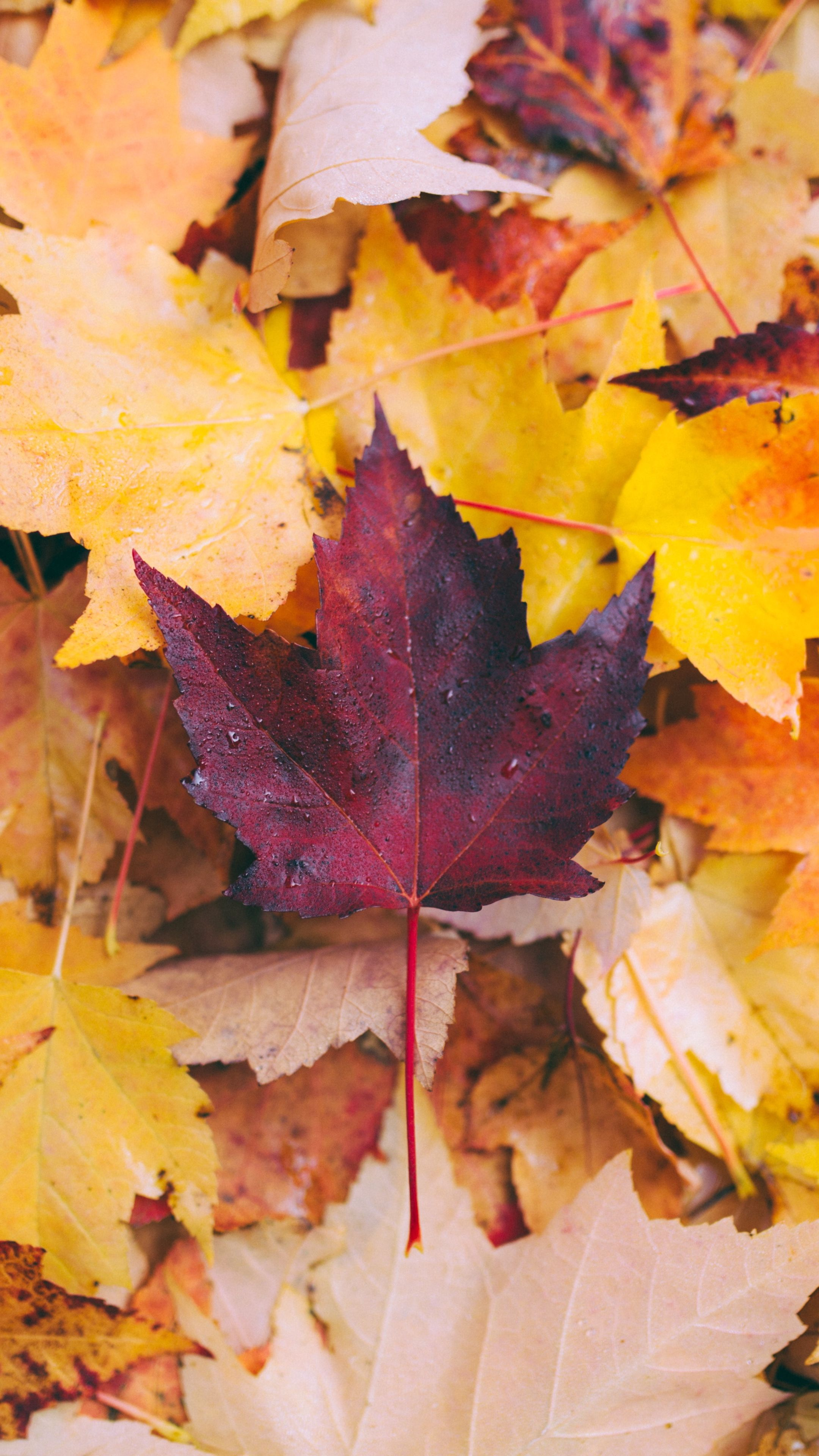 Nature Autumn Maple Leaves Wallpapers Hd 4k Background For Android Android Wallpaper Leaf Wallpaper Wallpaper
