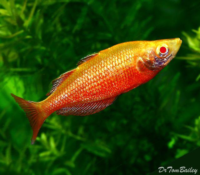 Each premium rare albino irian rainbow pictures 2 for Rainbow fish species