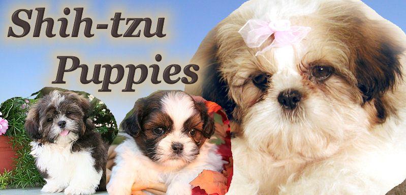 Shih Tzu Puppies For Sale In Illinois Near Chicago In 2020 Shih Tzu Puppy Puppies For Sale Shitzu Puppies