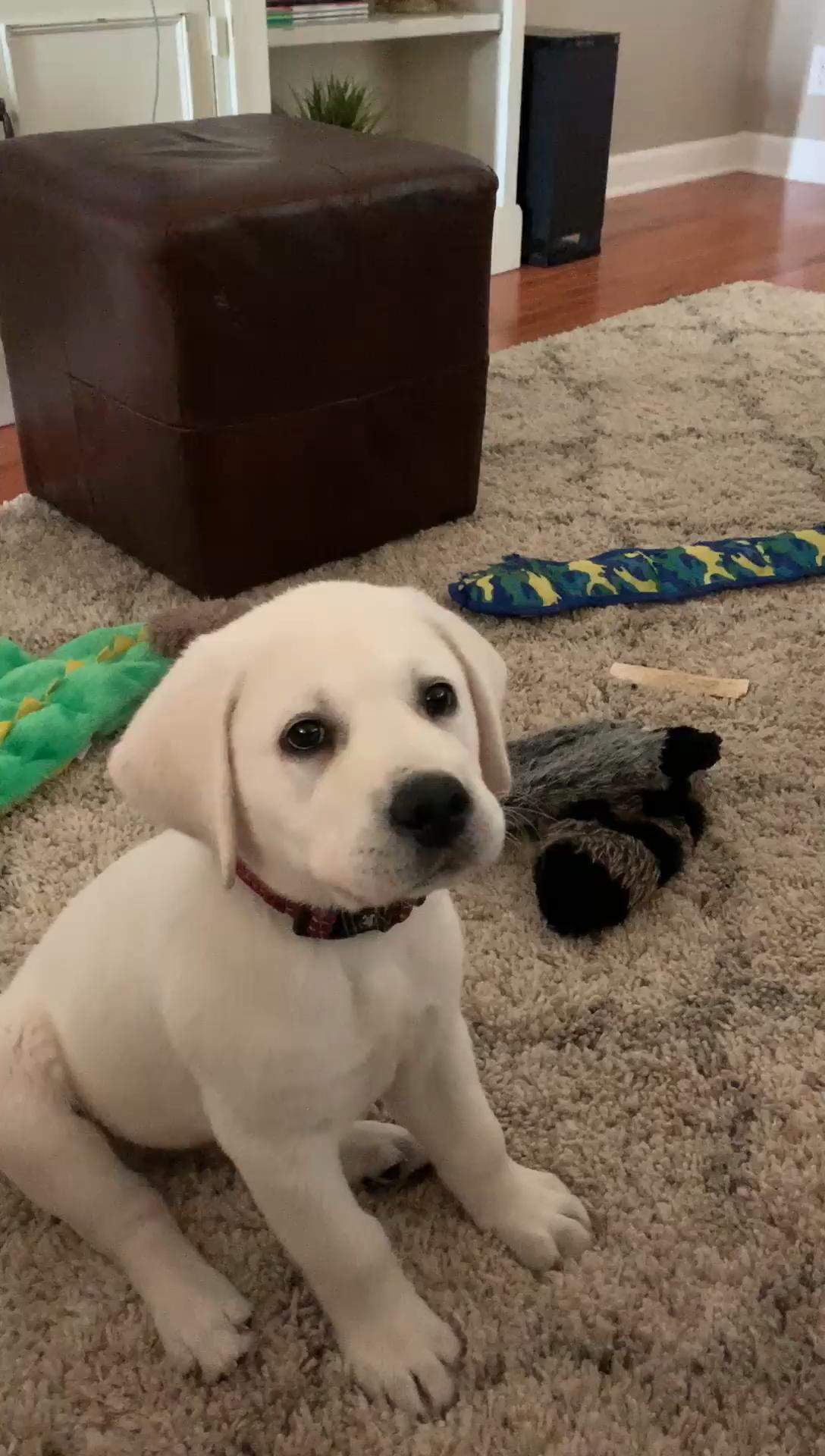 Labrador instincts :D #Puppy #Labrador #Fetch