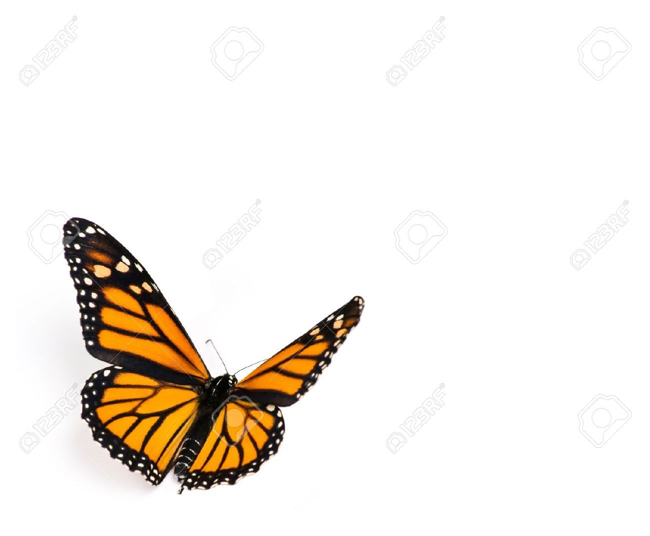 Monarch Butterfly flying | Butterflies and other small ...