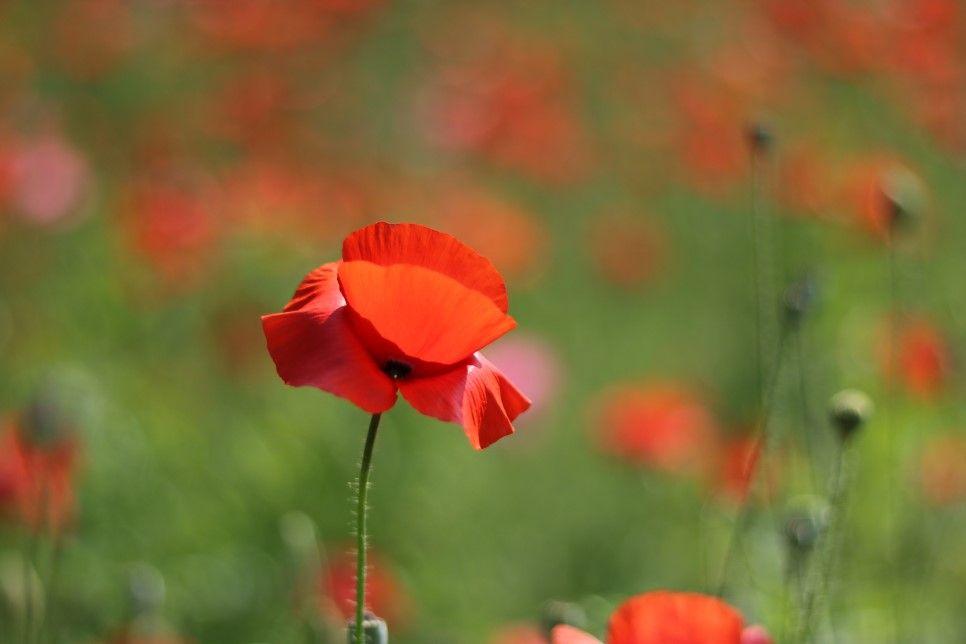 올림픽공원 양귀비꽃 : 네이버 블로그