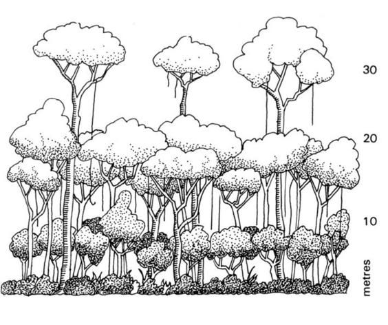 Tropical Rainforest Layers Diagram Tree Drawing Rainforest