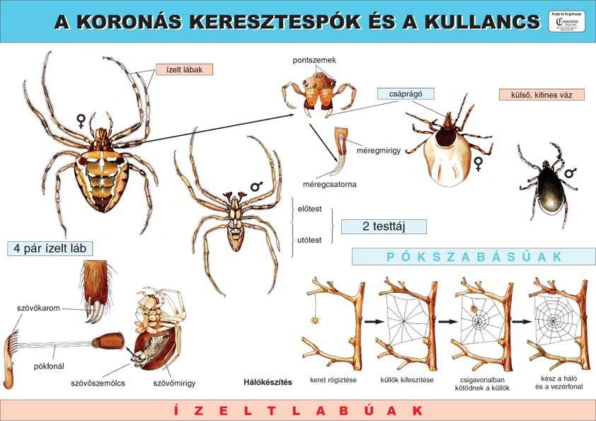 zsírégető pók a kevesebb alvás miatt lefogy
