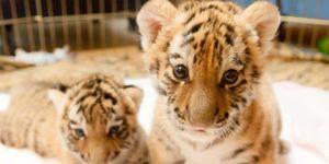 Kalahari Resorts - Stop Abusing Tiger and Lion Cubs!