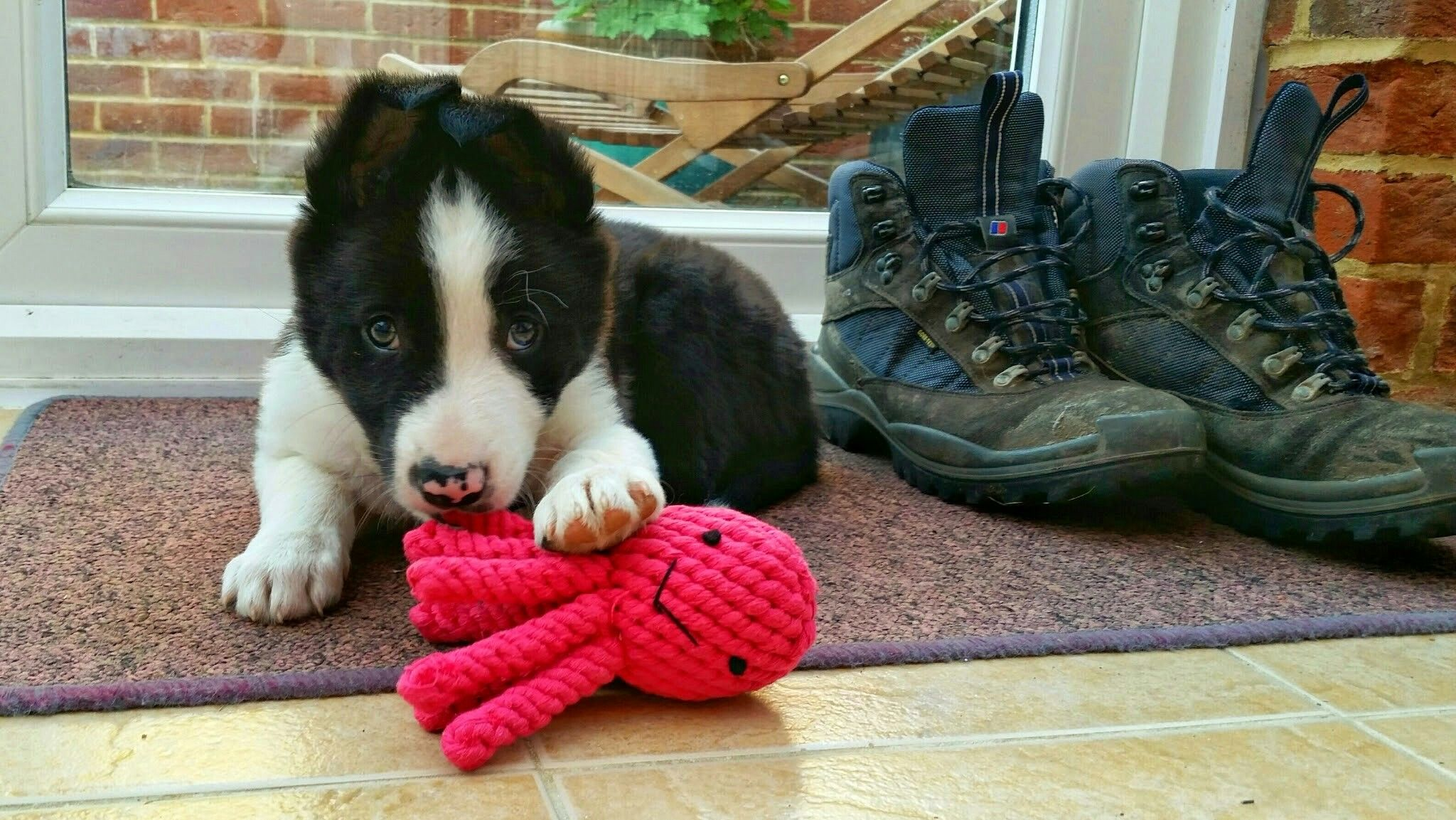 Collie Puppies For Sale Image By Laura Engle On Border Collie