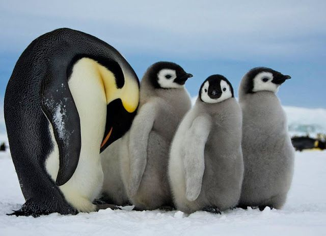 15 Amazing Animals That Start With The Letter E Penguins Emperor Penguin Penguin Pictures