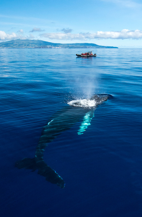 thelovelyseas: A Humpback Whale, Megaptera novaeangliae, surfaces to breath with a whale watching boat and Faial Island in the background, Azores autonomous region, Portugal, North Atlantic Ocean by Michael Patrick O'Neill