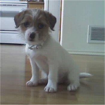 Sadie The 4 Month Old Ratshi Terrier Rat Terrier Shih Tzu Mix