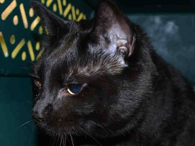 TO BE DESTROYED 4/30/15 *NYC* Manhattan Center * A volunteer writes: Beau is a big boy who loves affection and attention regardless of his size. His beautiful fur is glossy and shines like a brand new leaf opening for spring. Beau is a gentle soul who would love to go home with you. * My name is BEAU. ID # A1033460. I am a neutered male black dom sh mix. I am about 10. OWNER SUR on 04/17/2015 from NY 10473, PERS PROB. Group/Litter #K15-010372.