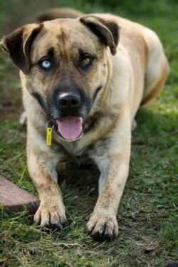 Adopt A Dog Via Www Aaps Org Au Melbourne Australia 13 11 13 Staffy X Husky Male 4 1 2 Years Ali Is A Great Dog Dog Adoption Dogs House Training
