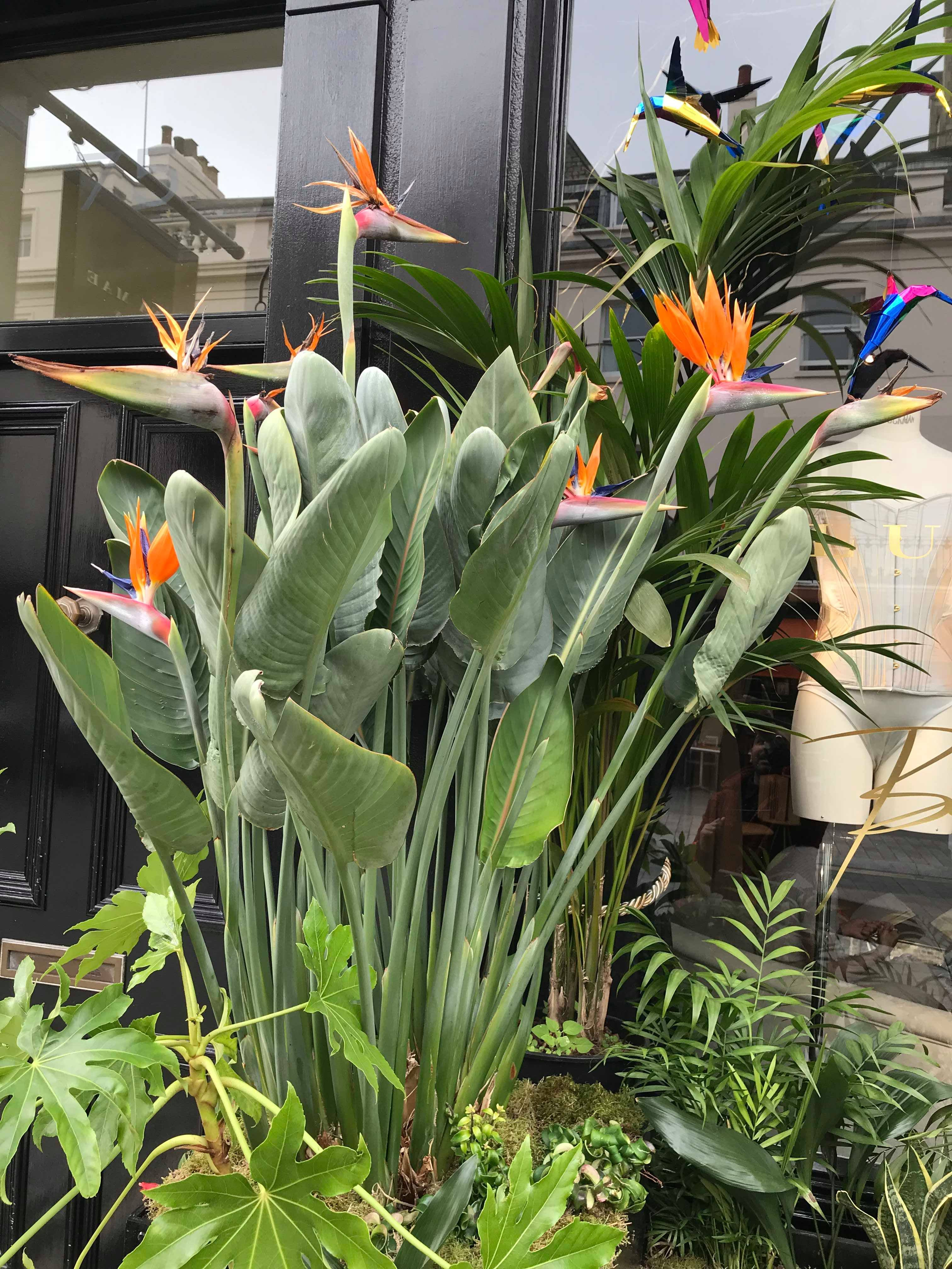 Bird Of Paradise Strelitzia In 2020 Birds Of Paradise Plant Tropical Garden Design Paradise Plant