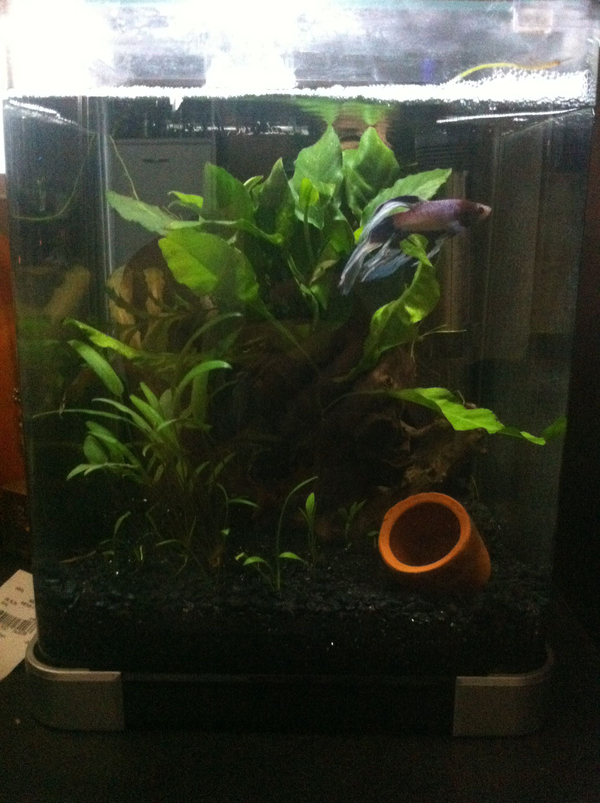 My pretty nano betta tank Not shown are my suicidal Kuhli loaches
