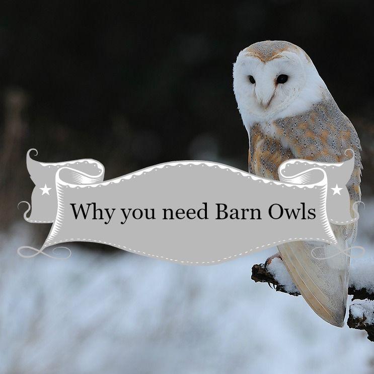 Barn Owls Make Money and Slay Rodents Homesteading