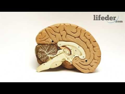 45) El Cerebro Reptiliano ¿Cuáles son sus Funciones y Partes ...