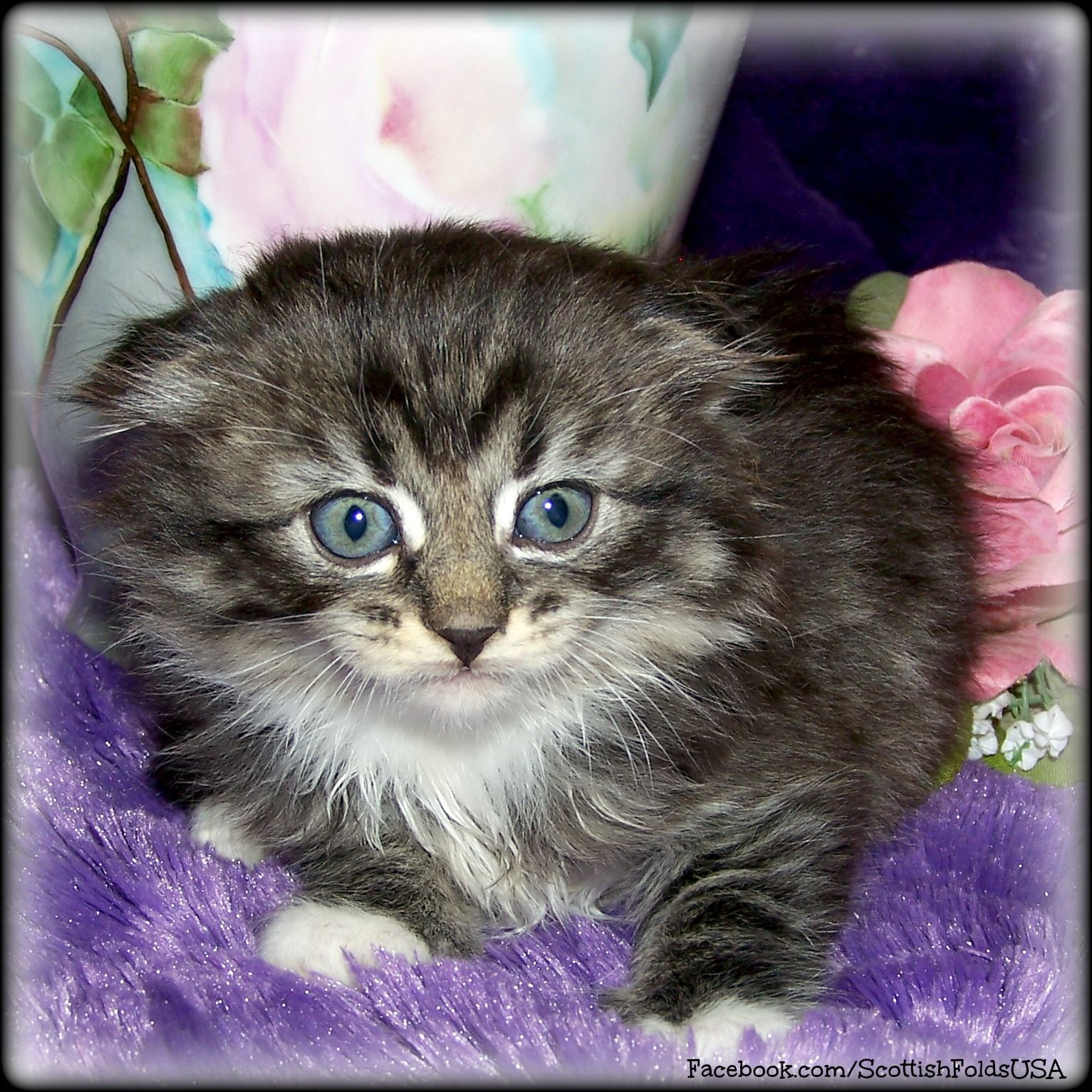 Black Tabby With White Long Hair Scottish Fold Kitten Serious