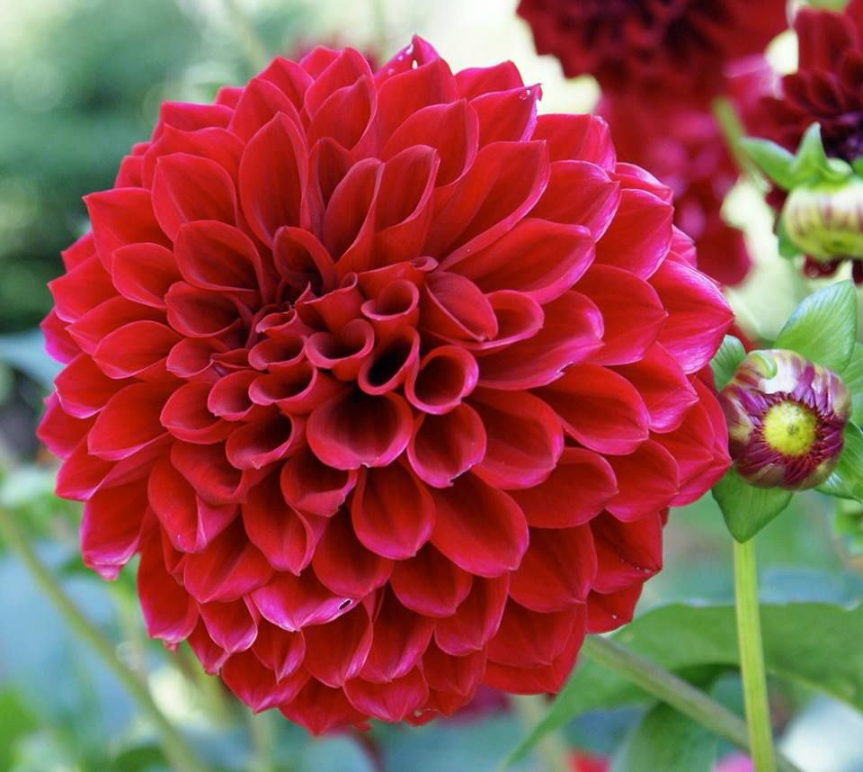 Pin by Rachel Summers on Flowers Pinterest Dahlia and Flowers