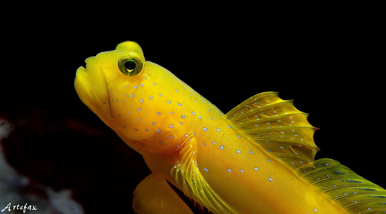 Yellow Watchman Goby Watchmen Yellow Fish Pet
