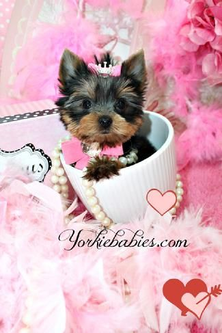 Yorkiebabies Com Micro Teacup Yorkie Puppies Micro Yorkie For Sale Yorkies For Sale In Florida Yorkie Teacup Yorkie For Sale Yorkies For Sale