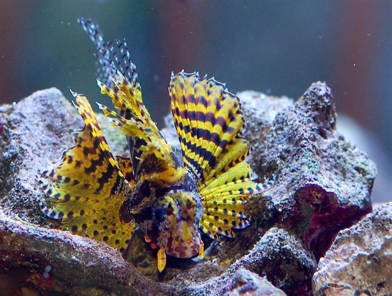 Rare Yellow Fuzzy Dwarf Lionfish Lion Fish Patterns In Nature Fuzzy