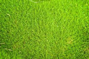 Facts About Zoysia Grass Zoysia Grass Problems Zoysia Grass Zoysia Grass Seed Grass Textures