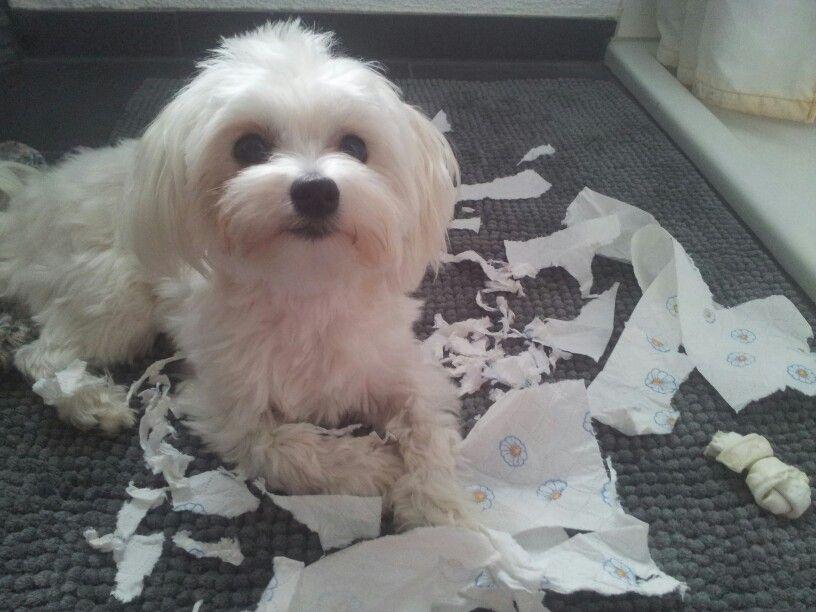 Malteser Mix Graf Bobby Aaaachtung! Bremsen!!! #Hund: Graf Bobby ...