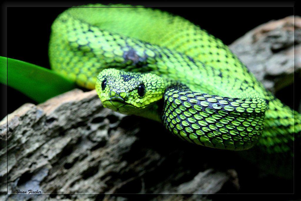 Fluorescent Orange Corn Snake Great Lakes Bush Viper...