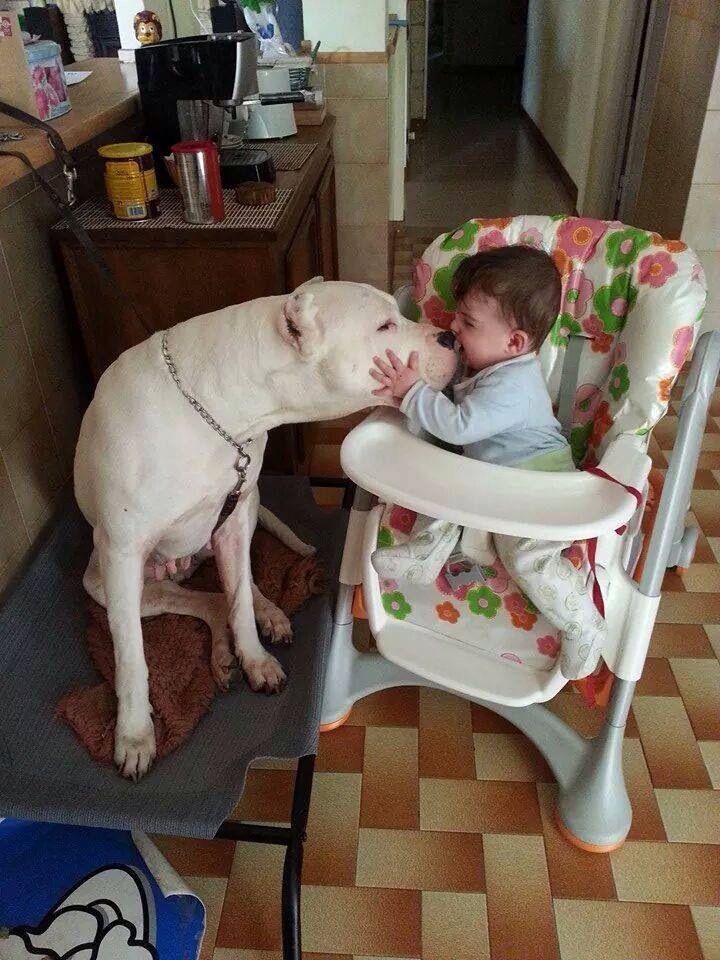Dogo Argentino Dog Breeds Dogs Dog Argentino