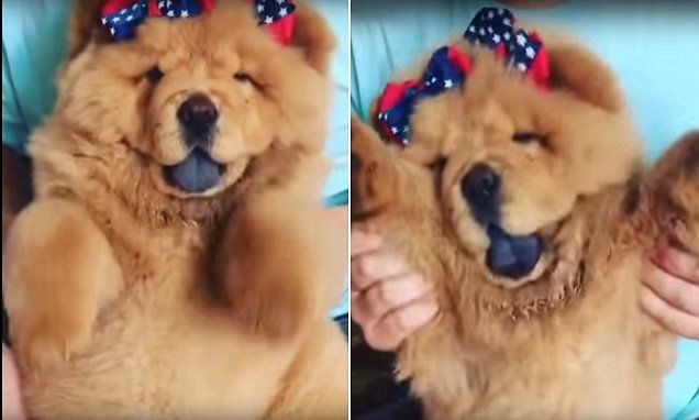 Most Inspiring Chow Chow Chubby Adorable Dog - 1e062b6cffd8f14212d4ae517b1255c0  Gallery_146558  .jpg